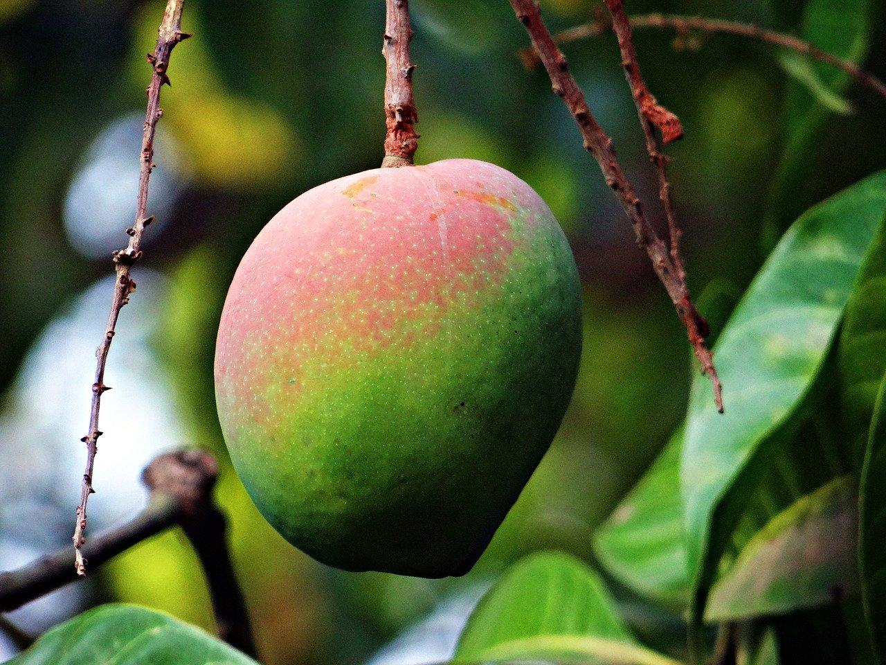 マンゴーの果実