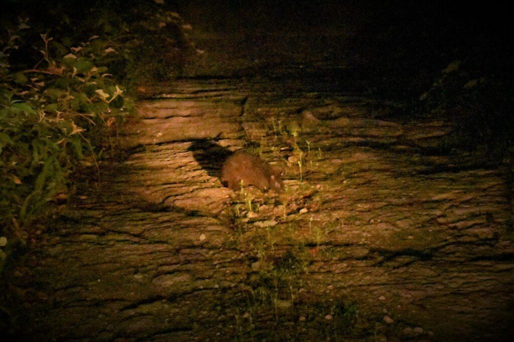 奄美大島 アマミノクロウサギ