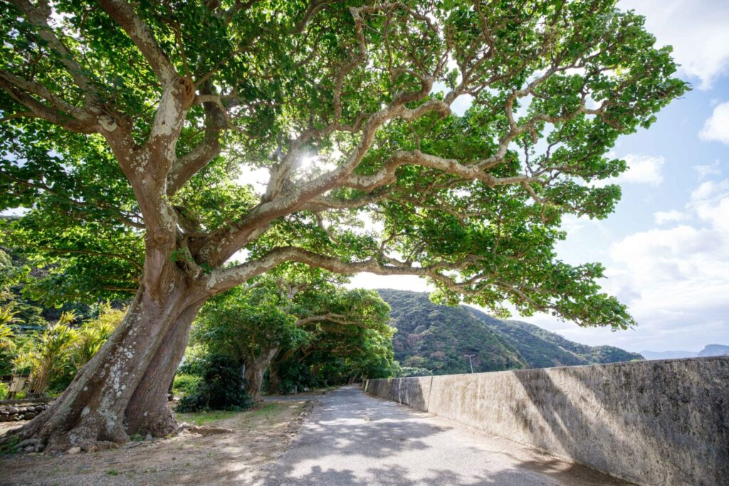加計呂麻島 諸鈍デイゴ並木